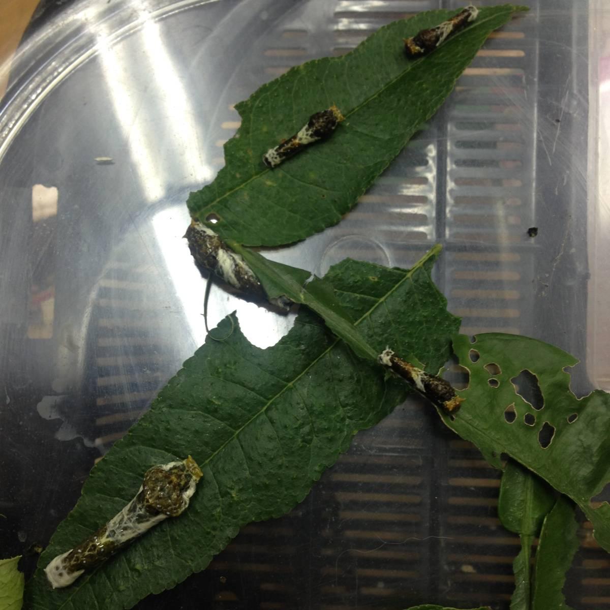 幼虫 クロアゲハ の